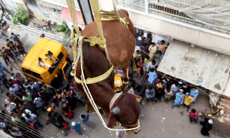 باكستاني يستعين برافعة لإنزال الأضاحي من سطح منزله