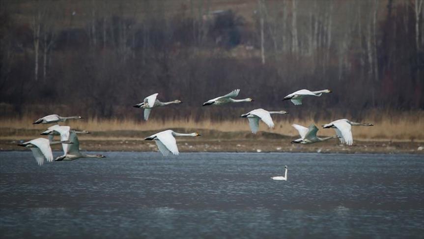 """بحيرة """"وان"""" التركية تستضيف طيور البجع والفلامينغو"""