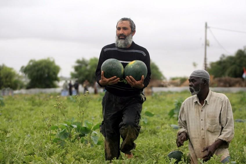 """زراعة """"غزة"""": حققنا اكتفاءً ذاتيًا من البطيخ"""