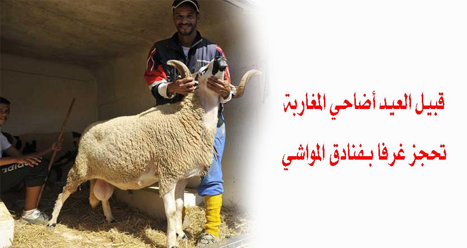"""قبيل العيد.. أضاحي المغاربة تحجز غرفًا بـ""""فنادق المواشي"""""""